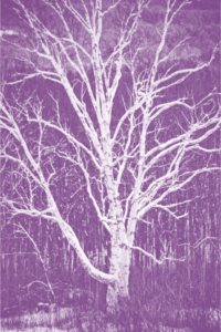 birch-purple